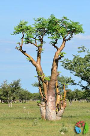 moringa drzewo